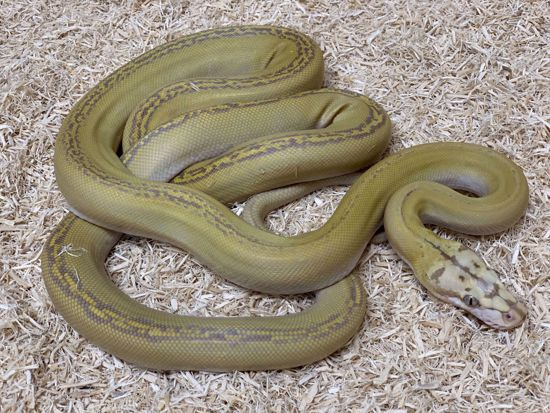 Picture of Male Motley Goldenchild Purple Albino Reticulated Python